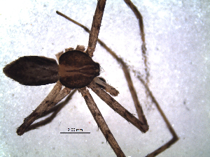 (Philodromus grosi - NCA-2012_4424)  @12 [ ] CreativeCommons - Attribution Non-Commercial Share-Alike (2013) Mamadi Theresa Sethusa University of Johannesburg