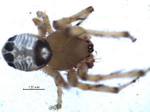 (Araneus legonensis - NCA-2013_38)  @13 [ ] CreativeCommons - Attribution Non-Commercial Share-Alike (2013) Robin Lyle Agricultural Research Council (ARC)