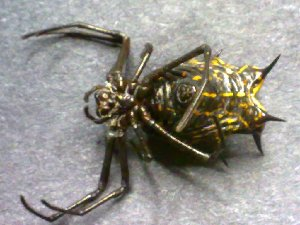 (Micrathena zilchi - AASFB-0003)  @11 [ ] Unspecified (default): All Rights Reserved  Manuel Medina Mex Unspecified