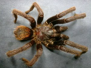 (Brachypelma vagans - AASFB-0040)  @14 [ ] Unspecified (default): All Rights Reserved  Manuel Medina Mex Unspecified