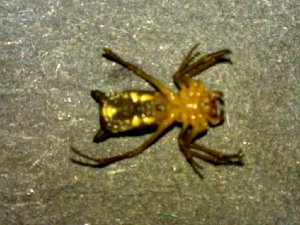 (Micrathena sexspinosa - AASFB-0114)  @12 [ ] Unspecified (default): All Rights Reserved  Manuel Medina Mex Unspecified