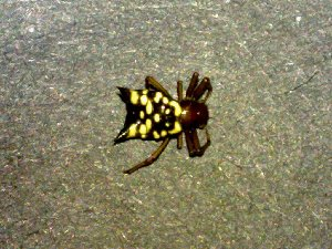 (Micrathena mitrata - AASFB-0125)  @11 [ ] Unspecified (default): All Rights Reserved  Manuel Medina Mex Unspecified