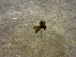 (Micrathena fidelis - AASFB-0207)  @11 [ ] Unspecified (default): All Rights Reserved  Manuel Medina Mex Unspecified