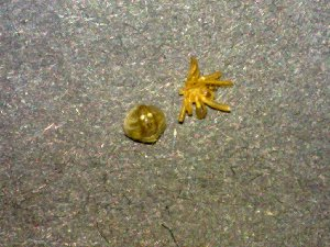 (Araneus pegnia - AASFB-0252)  @12 [ ] Unspecified (default): All Rights Reserved  Manuel Medina Mex Unspecified