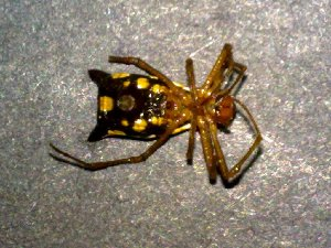 (Micrathena sexspinosa - AASFB-0575)  @12 [ ] Unspecified (default): All Rights Reserved  Manuel Medina Mex Unspecified