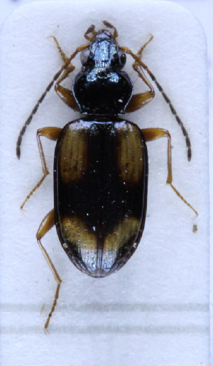 (Bembidion cruciatum bualei - TLMF Col. 00199)  @11 [ ] CreativeCommons - Attribution Non-Commercial Share-Alike (2016) Andreas Eckelt Tiroler Landesmuseum