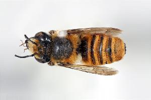 (Megachile yaeyamaensis - DNA000194)  @11 [ ] Unspecified default All Rights Reserved (2015) Osamu Tadauchi Kyushu University