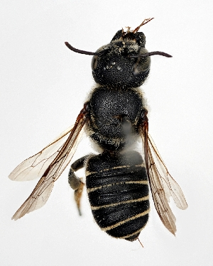 (Megachile spissula - DNA000277)  @15 [ ] Unspecified default All Rights Reserved (2015) Osamu Tadauchi Kyushu University