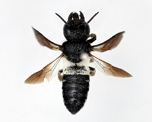 (Megachile disjunctiformis - DNA000279)  @11 [ ] Unspecified default All Rights Reserved (2015) Osamu Tadauchi Kyushu University