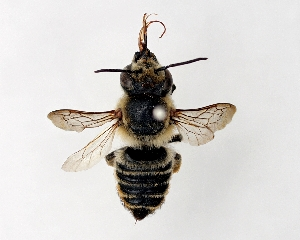 (Megachile remota - DNA000285)  @15 [ ] Unspecified default All Rights Reserved (2015) Osamu Tadauchi Kyushu University