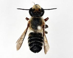 (Megachile humilis - DNA000290)  @11 [ ] Unspecified default All Rights Reserved (2015) Osamu Tadauchi Kyushu University