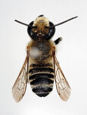 (Megachile remota - DNA000305)  @14 [ ] Unspecified default All Rights Reserved (2015) Osamu Tadauchi Kyushu University