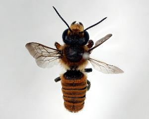 (Megachile okinawana - DNA000517)  @11 [ ] Unspecified default All Rights Reserved (2015) Osamu Tadauchi Kyushu University