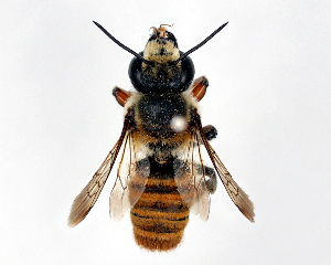 (Megachile okinawana - DNA000519)  @11 [ ] Unspecified default All Rights Reserved (2015) Osamu Tadauchi Kyushu University