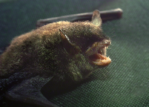 (Myotis montivagus - ZMMU S-186703)  @14 [ ] Copyright (2011) Sergei Kruskop Zoological Museum of Moscow University