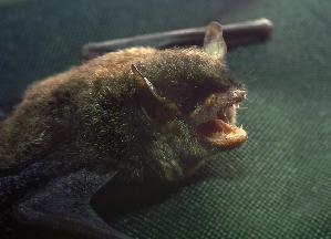 (Myotis montivagus - ZMMU S-186703)  @14 [ ] Copyright (2011) Sergei Kruskop Zoological Museum of Moscow University