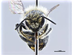 (Osmia ligurica - NHMW-HYM 18)  @11 [ ] CreativeCommons – Attribution Non-Commercial (by-nc) (2017) Unspecified Natural History Museum Vienna