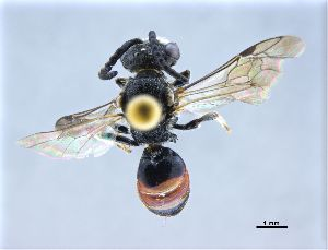 (Sphecodes cristatus - NHMW-HYM 566)  @11 [ ] Unspecified (default): All Rights Reserved (2017) Unspecified Natural History Museum Vienna