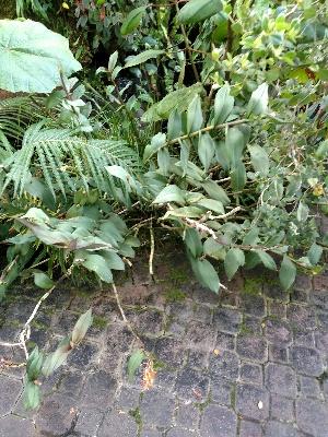 (Epidendroideae - KB225)  @11 [ ] Copyright (2016) Kylie Bucalo Atlanta Botanical Garden