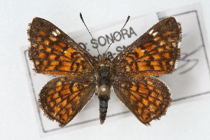 (Apodemia phyciodoides - CSU-CPG-LEP001480)  @15 [ ] Copyright (2009) Paul Opler Colorado State University