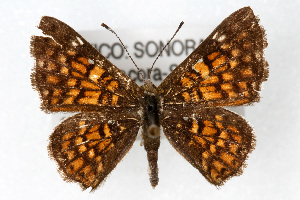 (Apodemia phyciodoides - CSU-CPG-LEP001484)  @15 [ ] Copyright (2009) Paul Opler Colorado State University