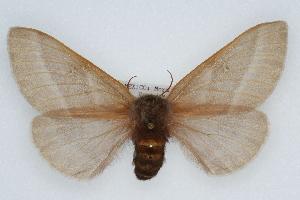 (Hemileuca oliviae - CSU-CPG-LEP002201)  @13 [ ] Copyright (2009) Paul Opler Colorado State University
