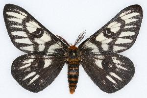 (Hemileuca magnifica - CSU-CPG-LEP002226)  @15 [ ] Copyright (2009) Paul Opler Colorado State University