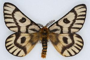 (Hemileuca nuttalli uniformis - CSU-CPG-LEP002233)  @14 [ ] Copyright (2009) Paul Opler Colorado State University