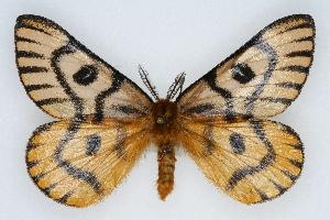(Hemileuca nuttalli utahensis - CSU-CPG-LEP002239)  @14 [ ] Copyright (2009) Paul Opler Colorado State University
