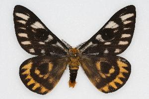 (Hemileuca eglanterina - CSU-CPG-LEP002247)  @15 [ ] Copyright (2009) Paul Opler Colorado State University