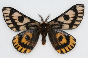 (Hemileuca eglanterina annulata - CSU-CPG-LEP002282)  @15 [ ] Copyright (2009) Paul Opler Colorado State University