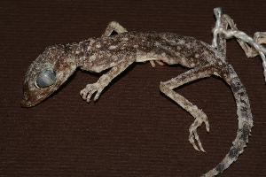 (Stenodactylus - RuHF-NR-190)  @14 [ ] Unspecified (default): All Rights Reserved  Unspecified Unspecified