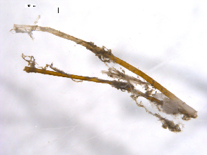 (Munnopsidae - 10BPBS-0152)  @13 [ ] Copyright  BIO Imaging Team, Crystal Sobel 2010 Unspecified