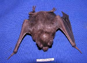 ( - 05-PARA-0121)  @13 [ ] Copyright (2005) Joseph A. Cook Museum of Southwestern Biology