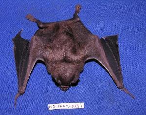 ( - 05-PARA-0133)  @13 [ ] Copyright (2005) Joseph A. Cook Museum of Southwestern Biology