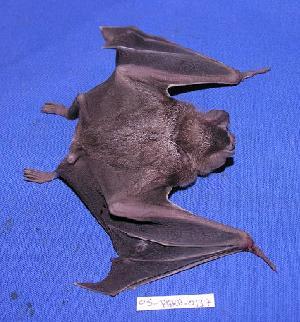 ( - 05-PARA-0137)  @13 [ ] Copyright (2005) Joseph A. Cook Museum of Southwestern Biology