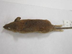 (Grammomys - DNMNH M-040443)  @13 [ ] Copyright (2013) Ditsong National Museum of Natural History Ditsong National Museum of Natural History