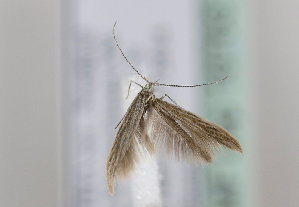(Coleophora ramosella - TLMF Lep 16763)  @11 [ ] CreativeCommons - Attribution Non-Commercial Share-Alike (2015) Peter Huemer Tiroler Landesmuseum Ferdinandeum