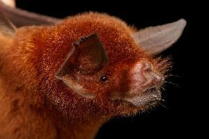 (Mormoopidae - ROM 117303)  @16 [ ] Copyright (2006) Unspecified Royal Ontario Museum