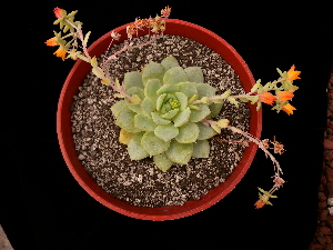 (Echeveria derenbergii - GE02401)  @11 [ ] Copyright (2010) J. Reyes 2011 Unspecified