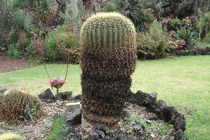 (Echinocactus grusonii - GE02263.6)  @11 [ ] Copyright  Salvador Arias Unspecified