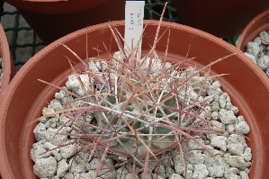 (Echinocactus parryi - GE0214)  @11 [ ] Copyright  Salvador Arias Unspecified