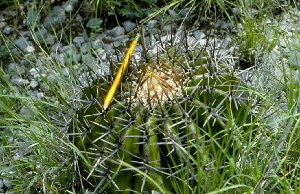 (Echinocactus platyacanthus - GE02282.6)  @11 [ ] Copyright  Salvador Arias Unspecified