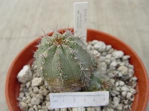 (Echinocereus - GE02456)  @11 [ ] Copyright  Salvador Arias Unspecified