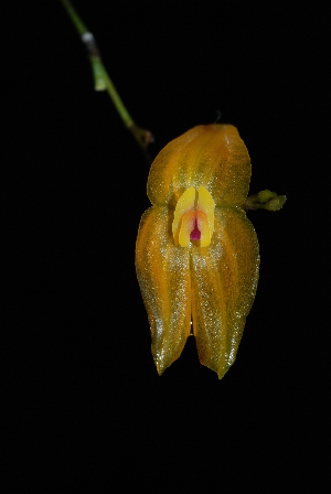 (Lepanthes - GE02130)  @11 [ ] Copyright  Gerardo Salazar, 2010 Unspecified