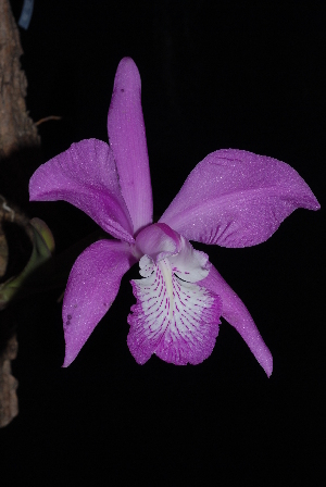 (Laelia - GE02411)  @11 [ ] Copyright  Gerardo Salazar, 2010 Unspecified