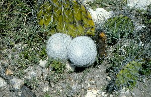 (Mammillaria candida - GE02281.6)  @11 [ ] Copyright  Salvador Arias Unspecified
