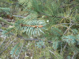(Picea chihuahuana - GE02413)  @13 [ ] Copyright  David Gernandt Unspecified