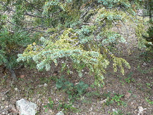 (Picea chihuahuana - GE02414)  @13 [ ] Copyright  David Gernandt Unspecified