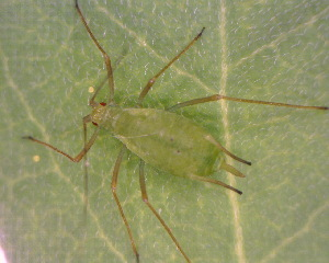 (Macrosiphum - BIOUG07983-D12)  @15 [ ] CreativeCommons - Attribution Non-Commercial Share-Alike (2011) M. Alex Smith Biodiversity Institute of Ontario